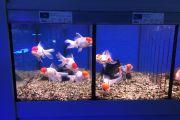 Goldfische neu eingetroffen